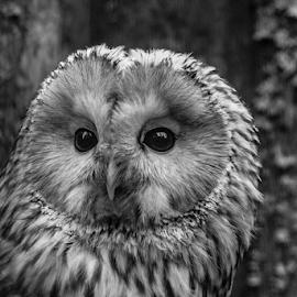 Ural Owl by Garry Chisholm - Black & White Animals ( raptor, ural owl, bird of prey, nature, lapland, finland, ranua, garry chisholm )