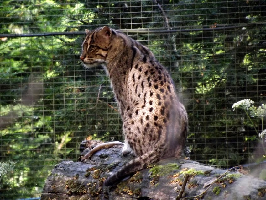 Chat pêcheur, Parc des Félins - Tous droits réservés