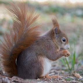 squirrel by Maya Cvetojevic - Animals Other