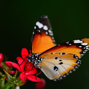 Orange Butterfly by Azmi Jailani - Animals Insects & Spiders