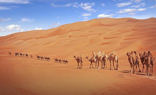 Camels on the desert  by Ali Suliman - Landscapes Deserts ( desert, western region, uae, liwa, abu dhabi )
