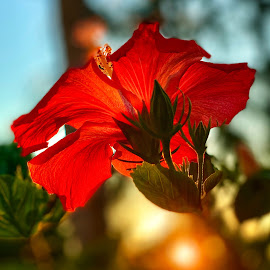 Hibiscus Morning by Lorna Littrell - Instagram & Mobile iPhone ( hibiscus, single flower, iphone, red flower,  )