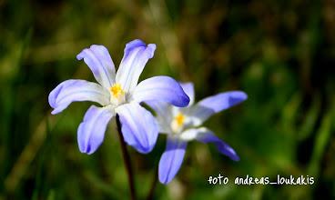 Photo: ΧΙΟΝΟΔΟΞΑ Η ΝΑΝΩΔΗΣ chinodoxa nana ΟΡΟΠΕΔΙΟ ΚΑΘΑΡΟΥ Μικρό φυτό με εκτυφλωτικά γαλάζια άνθη έχει αυτό το  όμορφο όνομα γιατί προβάλει συχνά μέσα από το χιόνι. Το φυτό είναι βολβώδεςμε άνθη κυανόλευκα και το συναντάμε στην αλπική ζώνη των Κρητικών βουνών