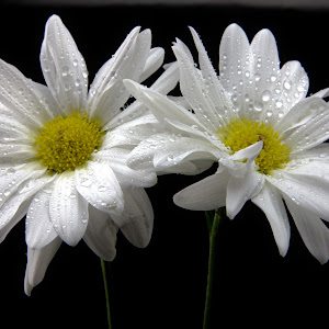 1_White_Daisies_3_1_18_A.jpg