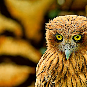 The Owl by Bong Flores - Animals Birds ( round eyes, nocturnal )