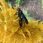 Kleptoparasitic Sand Wasp