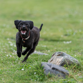 Labradoodle Fetch 1 of 4 by Anthony Ashcroft - Animals - Dogs Running ( fetch, ball, grass, labradoodle, running, cornwall, playing, shallow dof, d750, puppy, nikon, dog, black, tennis ball, gressn )