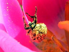 """Photo: Cétoine """"drap mortuaire"""" sortant d'un bain de pollen."""