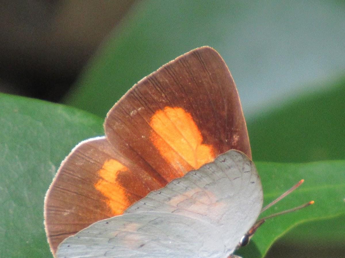 Sumatran Sunbeam