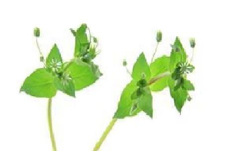 Chickweed May Help Promote Proper Digestion and Detoxification