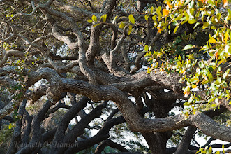 Photo: Twisted branches of live oak near The Big Tree