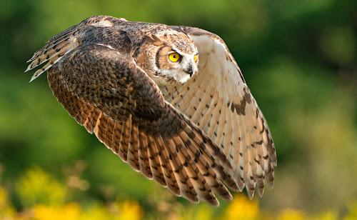 Horned Owl Flight, B by Peter K. Burian - Animals Birds ( bird, flight, flying, wings, owl, raptor, horned owl,  )