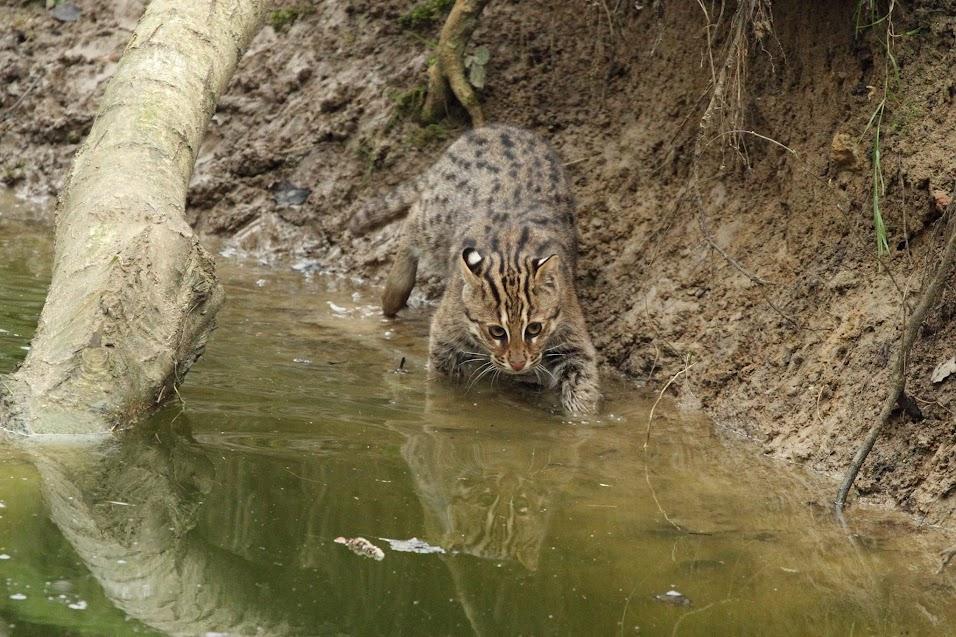 Chat pêcheur juvénile, Parc des Félins - Tous droits réservés Ludivine Lepiller