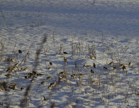 Photo: Flock of Snow Buntings foraging at the base of the Homer Spit