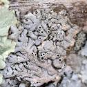 Starry Rosette Lichen