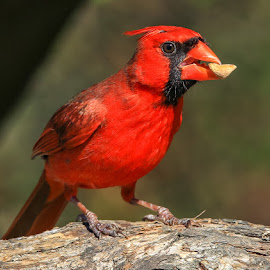 Male  Cardinal by Mike Craig - Animals Birds ( red bird, male cardinal )