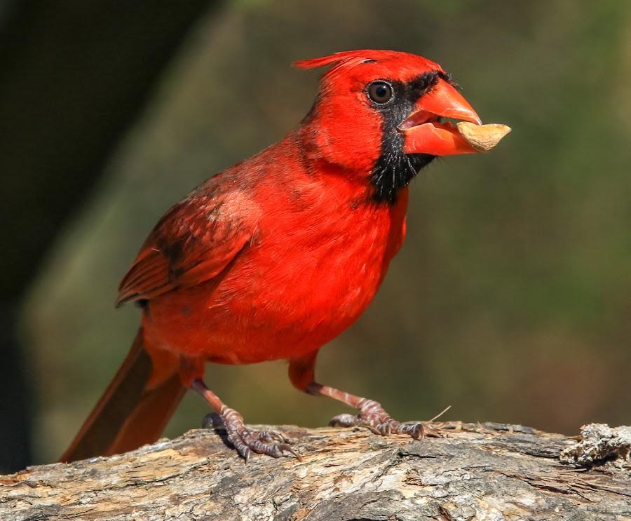 Male  Cardinal by Mike Craig - Animals Birds ( red bird, male cardinal )