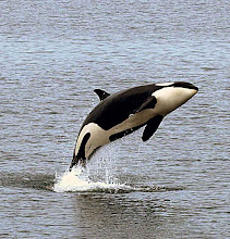 Photo: Leaping Orca