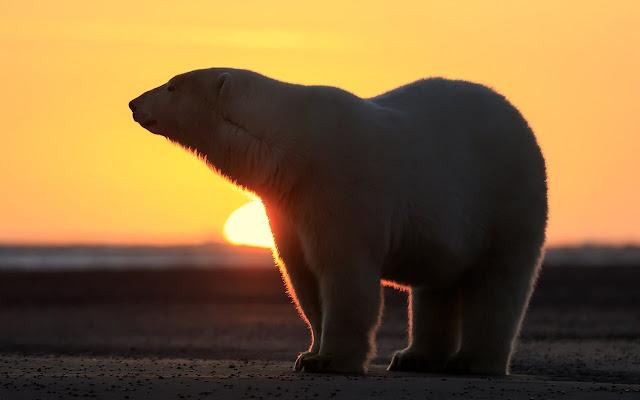 Polar Bear - New Tab in HD