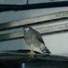 Roadside Hawk. Rupornis magnirostris