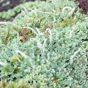 Common Powderhorn Lichen
