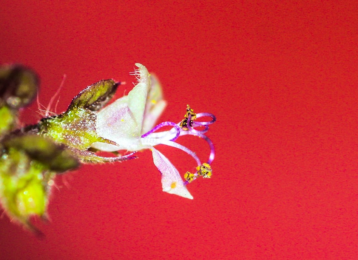 Holy basil or Tulsi flower