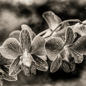My Orchids by Don Kuhnle - Flowers Flower Buds ( black & white, orchids, flowers, b&w, sepia,  )