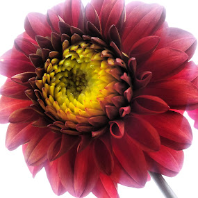 by Julija Moroza Broberg - Instagram & Mobile iPhone ( colour, macro, red, color, beautiful, nice, flowers, flower )
