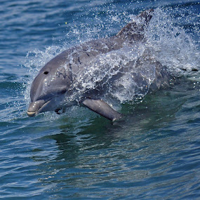 Playing with Dolphins by Andrea Everhard - Animals Other Mammals ( mammals, dolphin, cape may, seascape, nj )