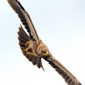 Tawny Eagle by Raj Dhage - Animals Birds ( raj dhage, nikon 600mm fl, tawny eagle, nikon )