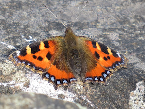 Photo: 16 Jul 13 Priorslee Lake: Yesterday one would not open its wings: today the Small Tortoiseshell in all its glory! (Ed Wilson)
