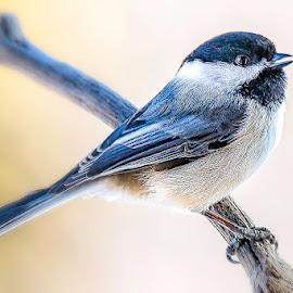 Chick-O-Dee by Tomas Rupp - Animals Birds ( nature, bird, animal, wildlife )