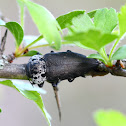 Mediterranean Flathead Woodborer; Gusano Cabezudo