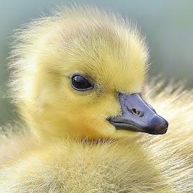 Gosling  by Jadwiga Dabrowski - Animals Birds ( gosling, cute  yellow )