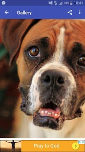New HD Cute Boxer Dog Wallpapers - náhled