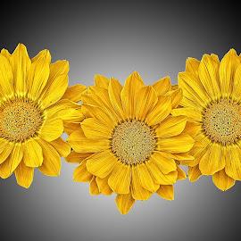 AYLI dahlia 69 by Michael Moore - Flowers Flower Arangements (  )