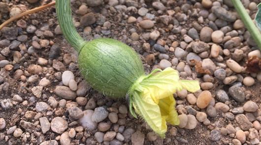 Asegura el cuaje de tus cultivos de melón y sandía con Stilo® Hydro