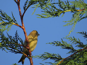 Photo: 7 Jul 13 Priorslee Lake: A Greenfinch: the flammulations on the breast suggest this is a juvenile. Note the neat V notch in the closed tail. (Ed Wilson)