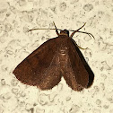 Black-dotted Ruddy Moth
