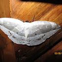 Hooktip Moth