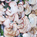False turkey-tail fungus