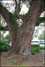 """Photo: Carlisle poses in front of a """"Grand Oak"""" one of the oldest in Hillsborough County. (Tampa, Florida) It's estimated to be around 500 years old!"""