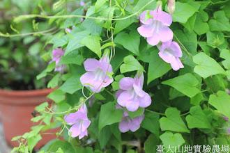 Photo: 拍攝地點: 春陽-可愛植物區 拍攝植物: 蔓玄蔘 拍攝日期: 2015_09_05_FY