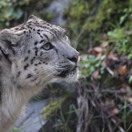 Snow Leopard by Dorothy Thomson - Animals - Cats Portraits ( highland wildlife park, leopard, snow, big cats, scotland )