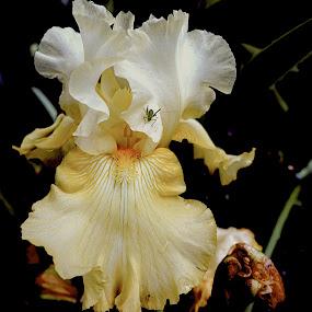 Bug by Philippe Smith-Smith - Flowers Flower Gardens ( flora, bug, iris, blossom, flower )
