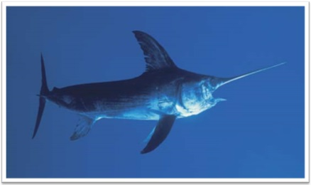 Swordfish-Top Big  Game Fish Found in Louisiana