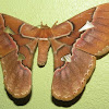 Giant silk moth