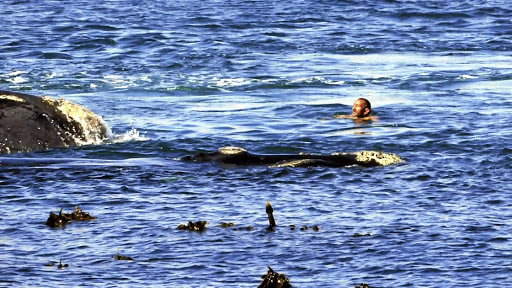 A man swims dangerously close to a pair of humpback whales in Fish Hoek this month. Harassing whales in the wild is an offence as it is seen as harmful to the animals.