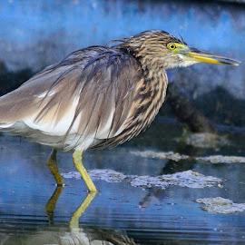 Pond Heron by Rajkumar Shiwani - Animals Birds