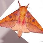 Honey Locust Silk Moth
